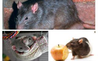 Interessante Rattenfakten