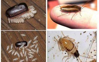 Wie man häusliche Kakerlaken züchtet