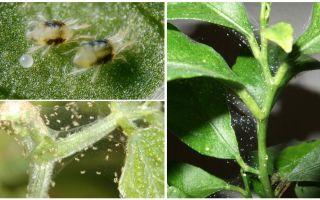 Wie man Spinnmilben auf Zimmerpflanzen loswird