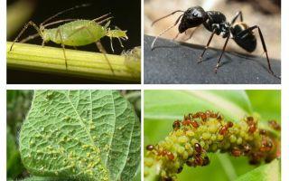 Art der Beziehung von Ameisen und Blattläusen