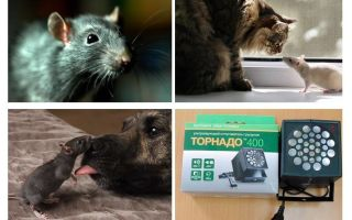 Wovor haben Ratten und Mäuse Angst?