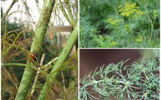 Was und wie man Blattläuse im Dill loswird