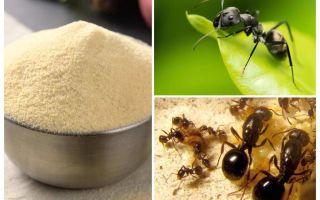 Manka von den Ameisen im Garten