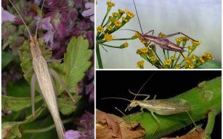 Beschreibung und Fotos der Crimean Cricket