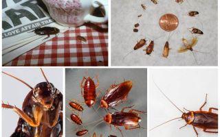 Wie man Kakerlaken in der Herberge dauerhaft loswird