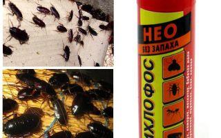 Unterstützt Dichlorvos von Kakerlaken - wie man vergiftet