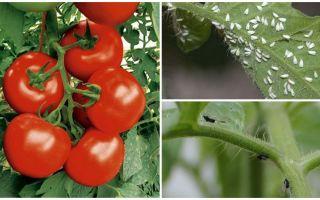 Wie man Tomaten von weißen und schwarzen Fliegen verarbeitet