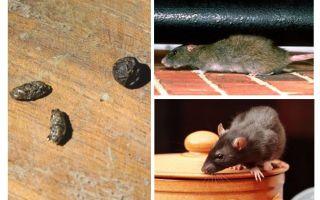Wie man mit Ratten in der Wohnung umgeht