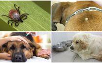 Symptome und Behandlung von Piroplasmose bei Hunden