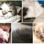 Flöhe bei Katzen und Kätzchen