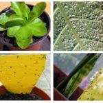 Blackflies in Zimmerpflanzen