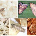 Arten von Lebensmittel Motten