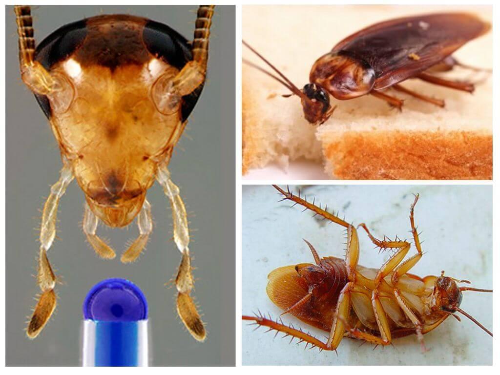 Kakerlake Ohne Kopf