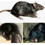 Schwarze Ratte