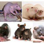 Dekorative Ratten