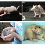 Rattenwelpen