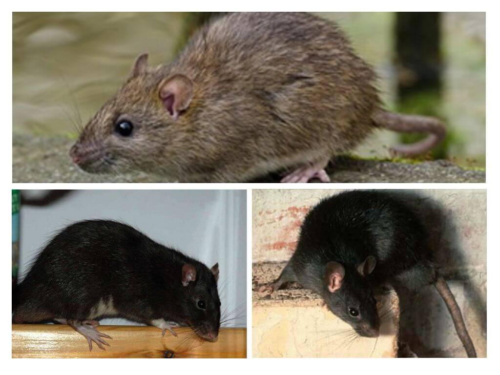 Größte Ratte