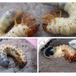 Insektenlarven