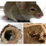 Isolierende nagende Mäuse