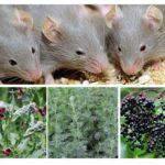 Kräuter von Mäusen
