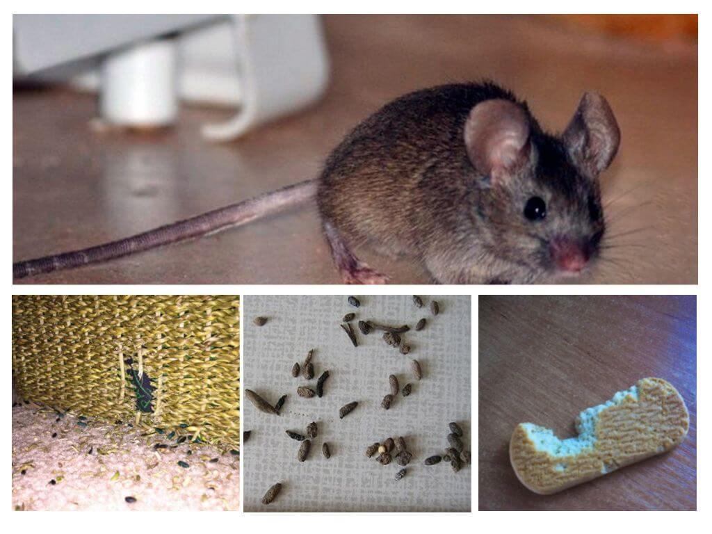 Wie Man Mäuse In Der Wohnung Für Immer Loswerden Kann