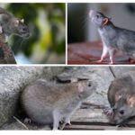 Wilde Ratten