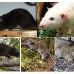 Ratte Arten
