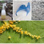Blattläuse durch Volksmedizin zu vernichten