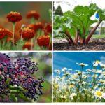 Blattlaus-Pflanzen