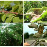 Schaden verursacht durch Blattläuse