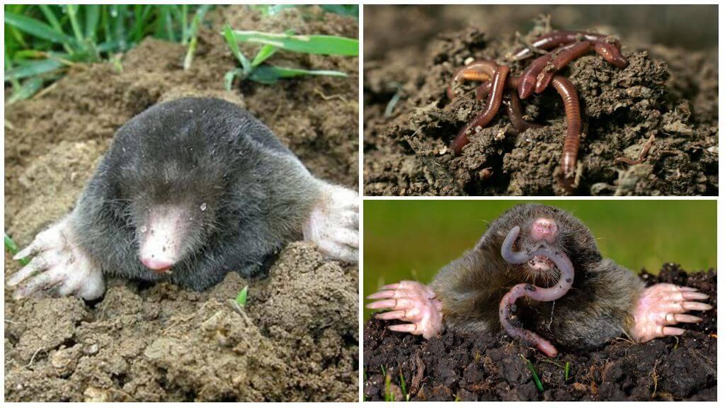 Volksmethoden der Bekämpfung des Maulwurfs mit Hilfe von Würmern