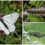 Raupe und Butterfly Hawthorn