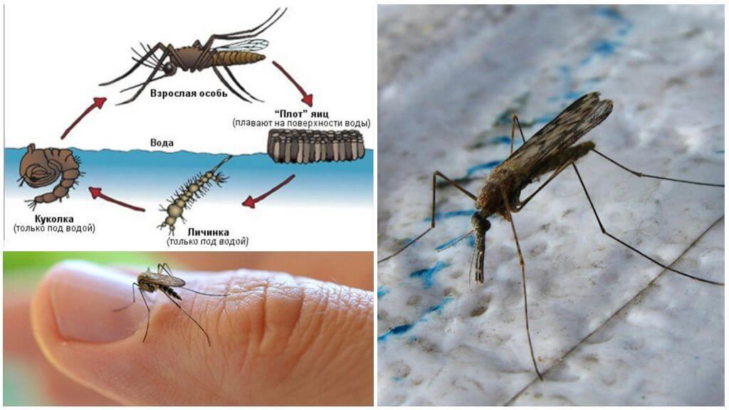 Züchtungszyklus der Anopheles-Mücke
