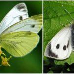 Schmetterlings-Kohl