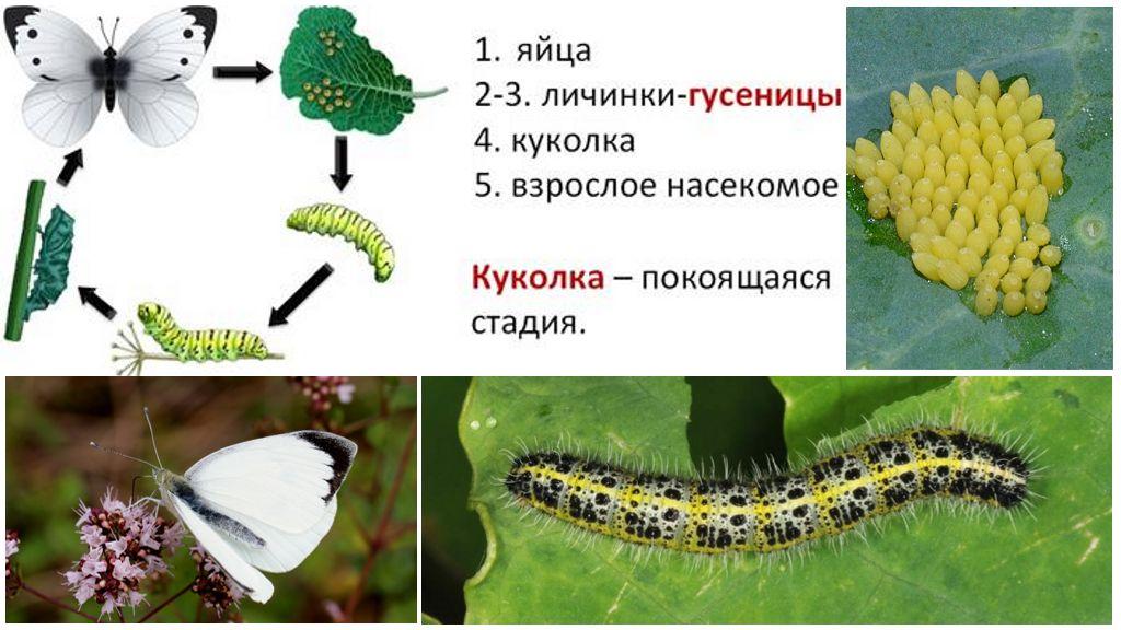 Entwicklungszyklus der Schmetterlingsschale