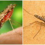 Malaria-Mücke