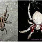 Spinnen Australien